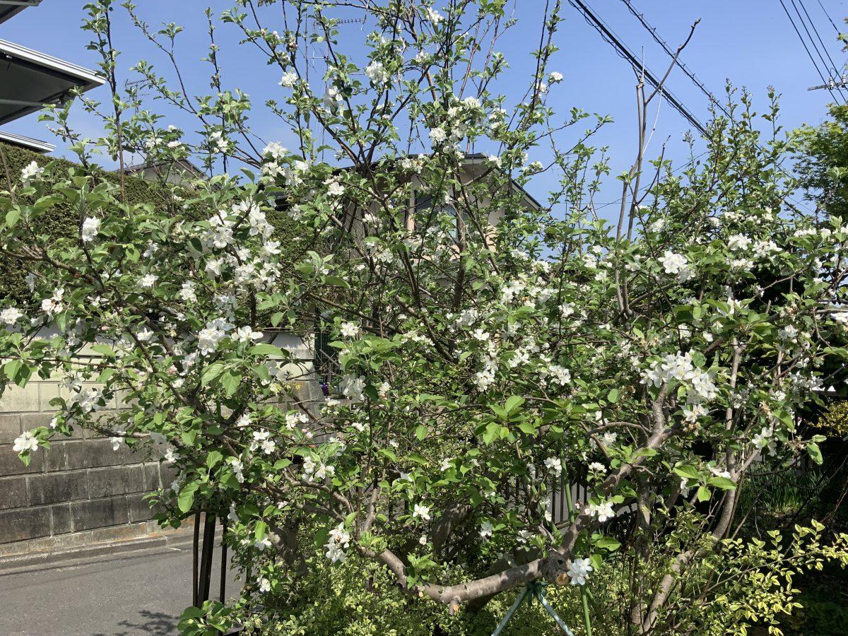 春だ〜〜〜帰ってきたらリンゴの花が咲いていたよ